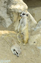 Meercats Royalty Free Stock Image - 36268606
