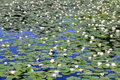 Background Of A Pond With White Water Lilies Stock Images - 36289534