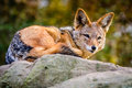 Jackal Stock Photo - 36292800