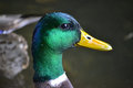 Duck Royalty Free Stock Images - 36303699