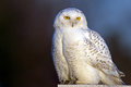 Snowy Owl Royalty Free Stock Photos - 36305088
