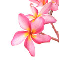 Plumeria Flowers Royalty Free Stock Photo - 36306215