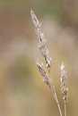 Orchard Grass Royalty Free Stock Photos - 36315458