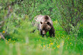 Wild Grizzly Bear Royalty Free Stock Photography - 36318557