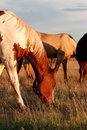 Feeding Horses On The Prairie Royalty Free Stock Photography - 36334917