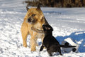 Two Dogs Playing Royalty Free Stock Photography - 36335747