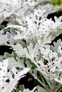 Dusty Miller Plant. Royalty Free Stock Images - 36358689