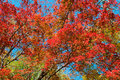 Colorful Maple Leaf Tree Royalty Free Stock Image - 36396786