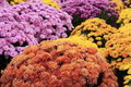 Autum Mums Royalty Free Stock Images - 3645079