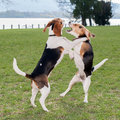Two Dogs Playing Stock Images - 36403234