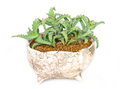 Cactus Thorns In Pot. Royalty Free Stock Images - 36403259