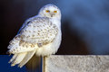 Snowy Owl Stock Images - 36409474