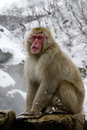 Snow Monkey Or Japanese Macaque, Macaca Fuscata Royalty Free Stock Photo - 36430225