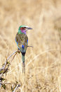 Lilac Breasted Roller Bird In Tanzania Royalty Free Stock Photo - 36434665