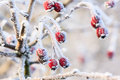 Red Berries On The Frozen Branches Stock Images - 36442004
