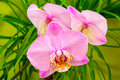 Beautiful Pink Orchid Stock Photography - 36446622