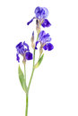 Iris Flower 01 Royalty Free Stock Images - 36452269