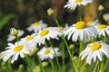 Camomiles. Summer Meadow. Royalty Free Stock Photography - 36452397
