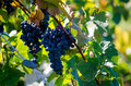 Purple Grapes On A Vine Stock Photography - 36453012