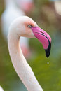 Greater Flamingo Royalty Free Stock Photos - 36457228