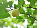 Lime On Tree Stock Photo - 36459340