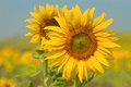 Sunflowers On Field In Summer Stock Photography - 36473642