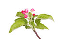 Apple Buds And Leaves Isolated Against White Royalty Free Stock Photos - 36479328