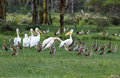 Beautiful Great White Pelicans And  Egyptian Goose Royalty Free Stock Photo - 36498785
