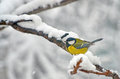 Blue Tit In The Snow On A Tree Royalty Free Stock Photo - 36525015
