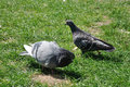 Couple Of  Pigeons In Love Dance On The Grass Stock Photo - 36537350