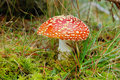 Fly-agaric Stock Photos - 3668503