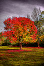 Red Tree In Autumn Royalty Free Stock Photo - 3668995