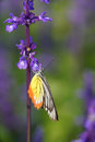 Monarch Butterfly On The Lavender In Garden Stock Photo - 36606900
