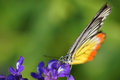 Monarch Butterfly On The Lavender In Garden Royalty Free Stock Photos - 36607008