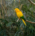 Colourful Yellow Lori Parrot  On The Perch Stock Photo - 36619380