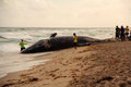 Beached Whale Stock Photo - 36638820