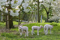 Lambs In An Orchard In Full Blossom Royalty Free Stock Images - 36652279
