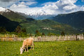 Cow On Mountain Pasture Stock Photography - 36654312