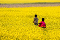 Mustard Field Royalty Free Stock Photo - 36660605