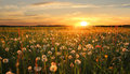 Dandelion Hayfield At Sunset Stock Image - 36660931