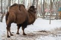 Bactrian Camel In The Winter Stock Photo - 36664000