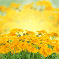Marigold Flowers Stock Photo - 36665020