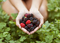 Blackberry In Hand Royalty Free Stock Photography - 36677387