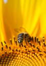 Bee On A Sunflower Royalty Free Stock Image - 3672466