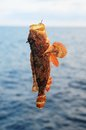 Red Rock Sea Fish Royalty Free Stock Photos - 36745888