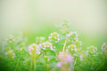 Flower Of Thyme Royalty Free Stock Photos - 36782048