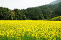 Rape Flowers Stock Images - 36794014