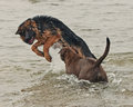 Two Puppy Play And Fight Royalty Free Stock Photos - 36796798