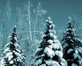 Snow-covered Evergreens Stock Photo - 3680950