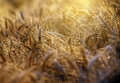 Afternoon And Evening Rays Of The Sun Through Fields Of Wheat Stock Image - 36807161